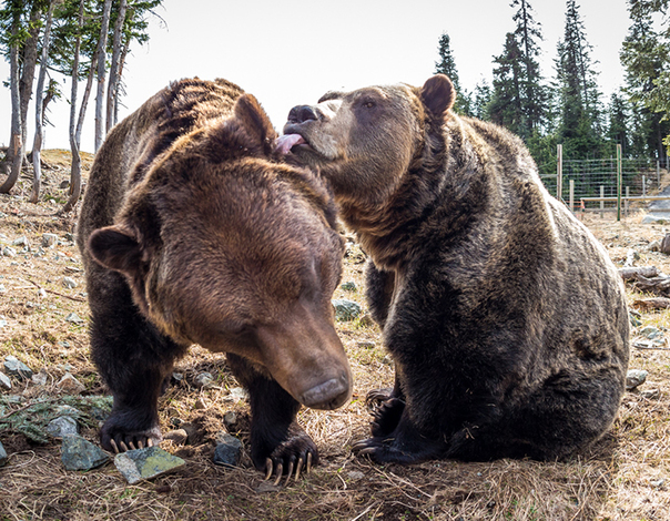 Learn more about our two Grizzly bears at our summer ranger talks.