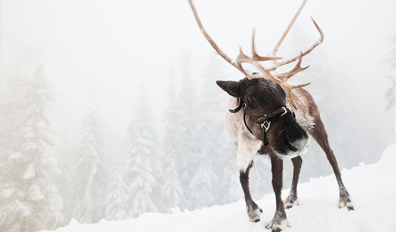 Peak of Christmas Reindeer