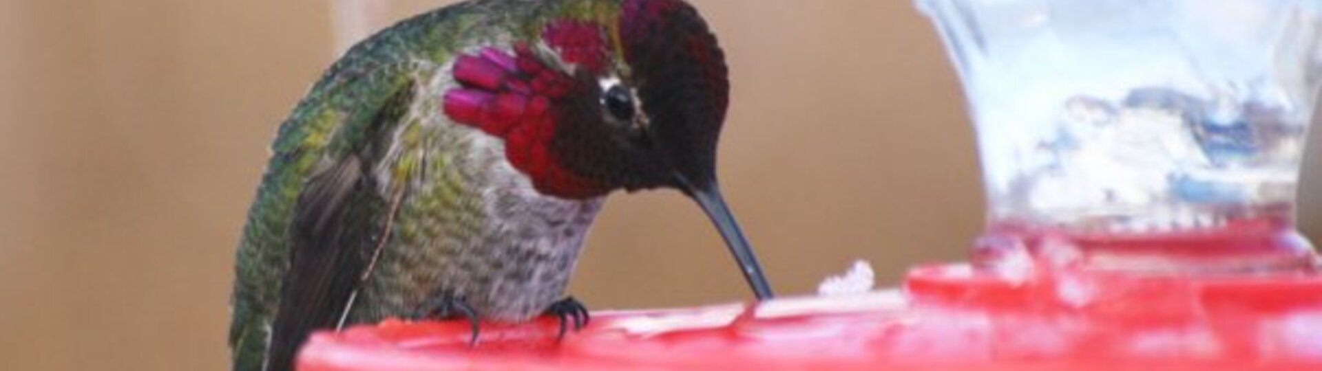 Hummingbird drinking from a feeder