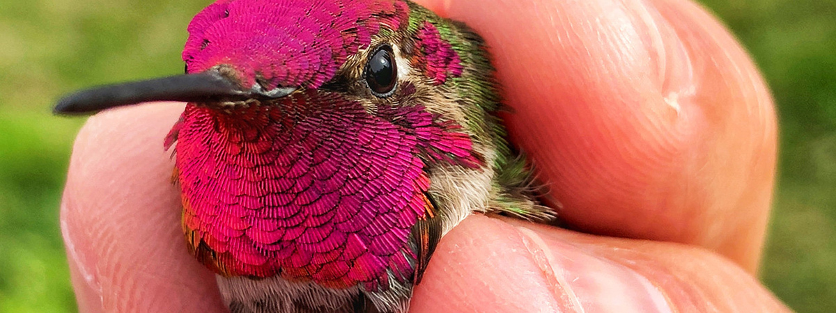 hummingbird being held in a hand